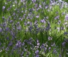 In May the hillsides, woods and verges blaze with the colour of bluebells